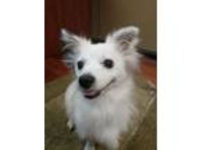 Adopt Pepe a Papillon, Jack Russell Terrier