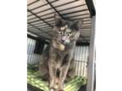 Adopt Baby Doll a Domestic Shorthair / Mixed (short coat) cat in Sanford
