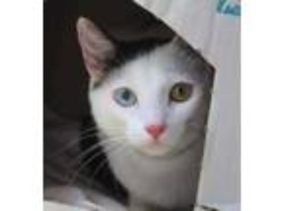 Adopt Dom a White Domestic Shorthair / Domestic Shorthair / Mixed cat in
