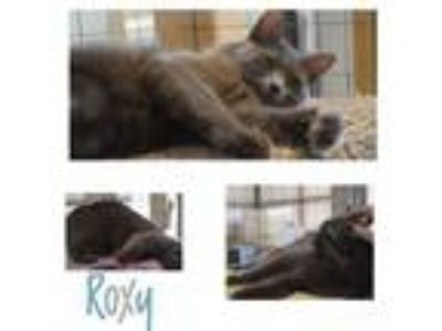 Adopt Roxy a Russian Blue