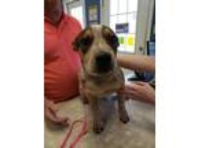 Adopt Pete a Australian Cattle Dog / Blue Heeler