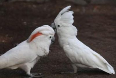 Two Pairs Of African Greys & Cockatoos for sale