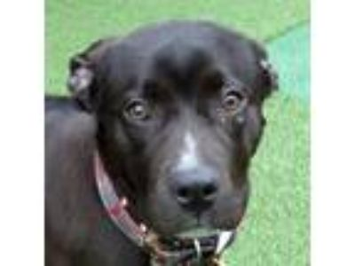 Adopt Seraphina a Black Labrador Retriever / Mixed dog in Valley View