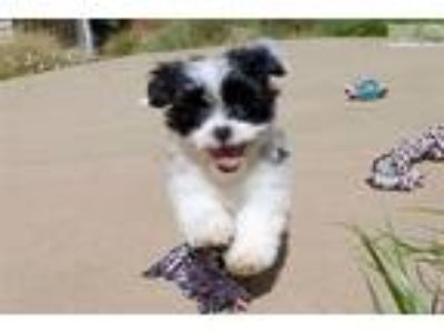 Puppies - For Sale Classifieds in Lakeside, California