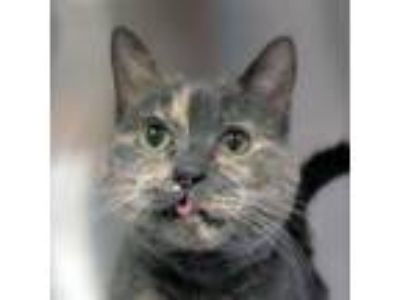 Adopt Saucy a Gray or Blue Domestic Shorthair / Domestic Shorthair / Mixed cat