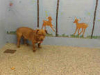 Adopt a Brown/Chocolate - with White American Pit Bull Terrier / Basset Hound /