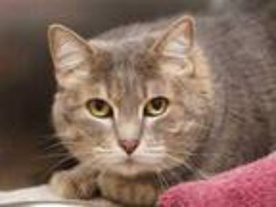 Adopt Casey a Gray or Blue Domestic Shorthair / Domestic Shorthair / Mixed cat