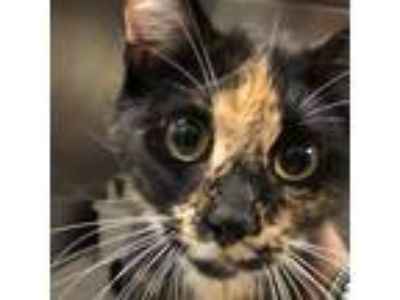 Adopt Mama Pasta a All Black Domestic Shorthair / Domestic Shorthair / Mixed cat
