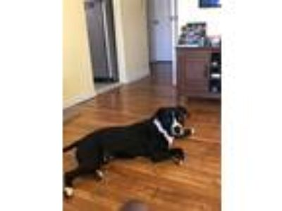 Adopt Oreo a Black - with White American Pit Bull Terrier dog in Rosedale