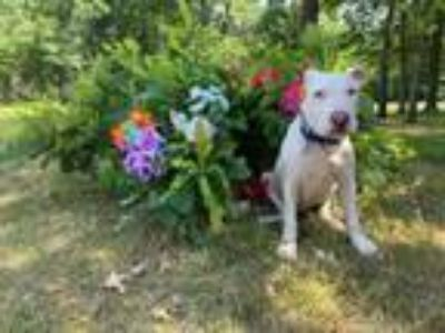 Adopt Nasir a Bull Terrier, American Staffordshire Terrier