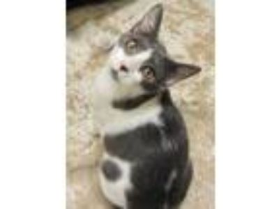 Adopt Renny a Gray or Blue Domestic Shorthair / Domestic Shorthair / Mixed cat