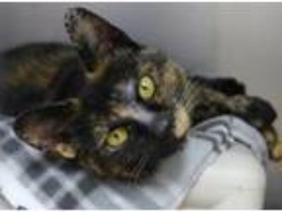 Adopt Cleo a Domestic Short Hair, Tortoiseshell