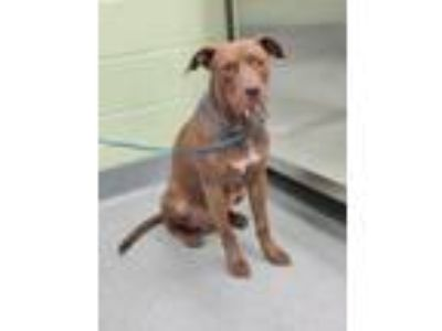 Adopt Hugo a American Staffordshire Terrier, Mixed Breed