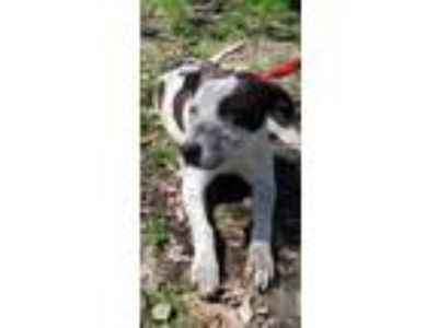 Adopt Curtis a German Shorthaired Pointer