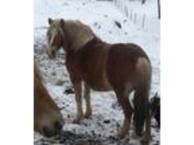 Haflinger ride drive in foal to Gypsy
