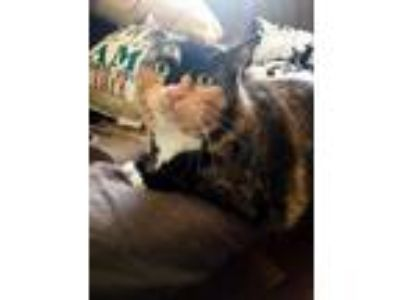 Adopt Nena a Calico, Domestic Short Hair