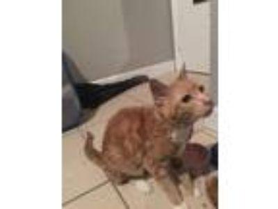 Adopt Rose a Orange or Red Tabby American Shorthair cat in Hialeah