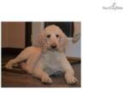 St Berdoodle Puppies being born June12