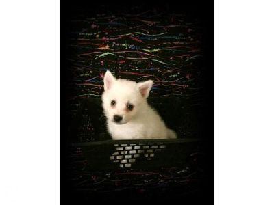 CKC Miniature American Eskimo Puppy