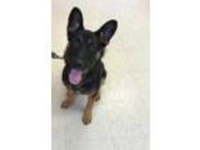 Adopt Tammy a Black German Shepherd Dog / Mixed dog in Madera, CA (25879060)