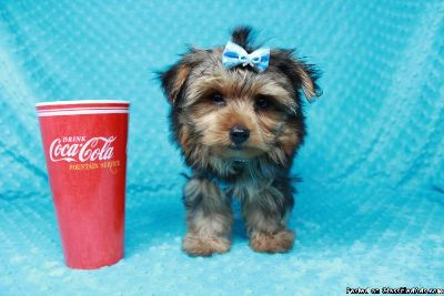 Teacup Yorkie Puppies For Sale * Las Vegas * Male & Female