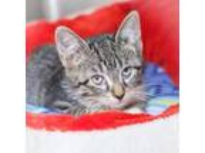 Adopt Bambi a Gray or Blue Domestic Shorthair / Domestic Shorthair / Mixed