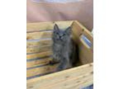 Adopt UNO a Gray or Blue Domestic Mediumhair / Domestic Shorthair / Mixed cat in