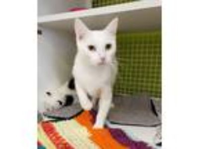 Adopt Baroness a White Domestic Shorthair (short coat) cat in Troy