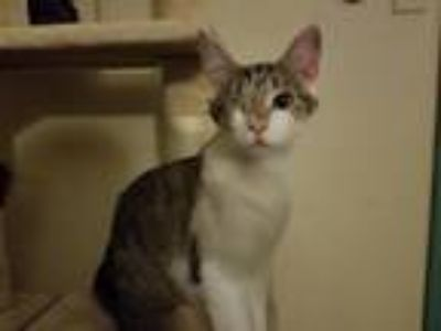Adopt Angel a Gray or Blue Domestic Shorthair (short coat) cat in Morton Grove