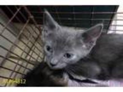 Adopt a Gray or Blue Domestic Shorthair / Mixed (short coat) cat in West Palm