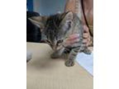 Adopt Mentzy a Gray or Blue Domestic Shorthair / Domestic Shorthair / Mixed cat