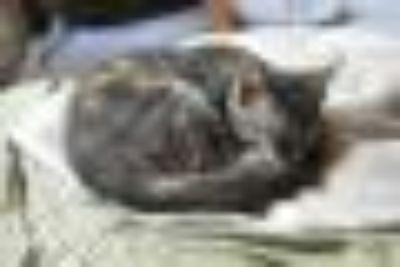 Swirl American Shorthair Cat