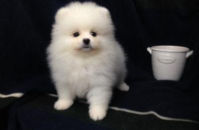 Pomeranian PUPPY FOR SALE ADN-104380 - HIGHEST CLASS Mini Pomeranian for NY LA SF SEA