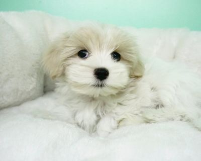 Malshi Puppy- Male- Beanie ($1,399)