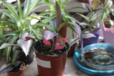 Rare Wandering Jew Rainbow Pink Purple white Beautiful Must C
