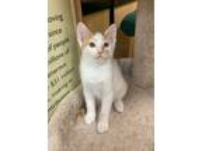 Adopt Boa a Orange or Red Tabby Domestic Shorthair (short coat) cat in