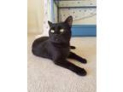Adopt Trinity a Domestic Shorthair / Mixed (short coat) cat in Vineland