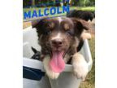 Adopt Malcolm a Brown/Chocolate - with White Border Collie / Husky / Mixed dog