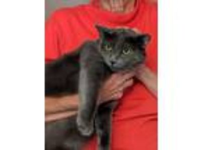 Adopt Georgia a Russian Blue