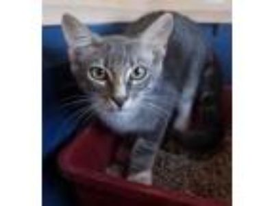 Adopt Alfie a Gray or Blue American Shorthair / Domestic Shorthair / Mixed cat