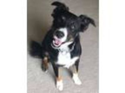 Adopt Dolly a Australian Shepherd, Border Collie