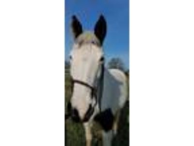 Adopt Indy a White Paint/Pinto horse in Seneca, SC (24827167)