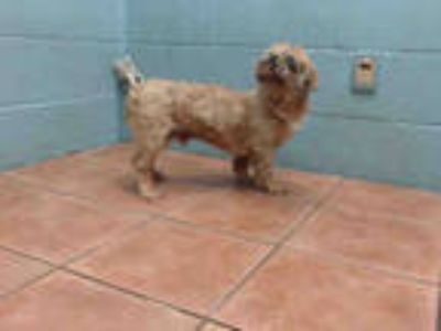 Adopt JACOBO a Brown/Chocolate Shih Tzu / Mixed dog in Downey, CA (25439163)