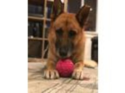 Adopt Beckham a German Shepherd Dog