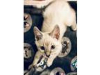 Adopt Skylar a Cream or Ivory (Mostly) Siamese / Mixed cat in Rockwall