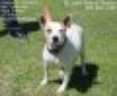 Kricket Rat Terrier Dog