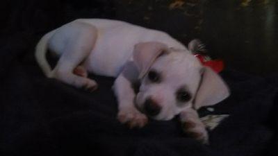 chiggle puppy female