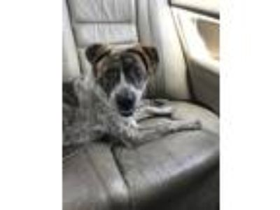 Adopt Max a Brown/Chocolate - with White Catahoula Leopard Dog / Cattle Dog /