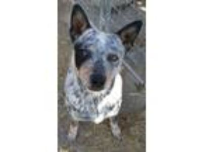 Adopt Cisco a Australian Cattle Dog / Blue Heeler