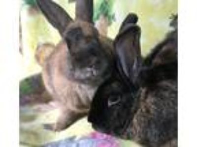 Adopt Holly and Mickey a Tri-color Harlequin / Mixed (short coat) rabbit in